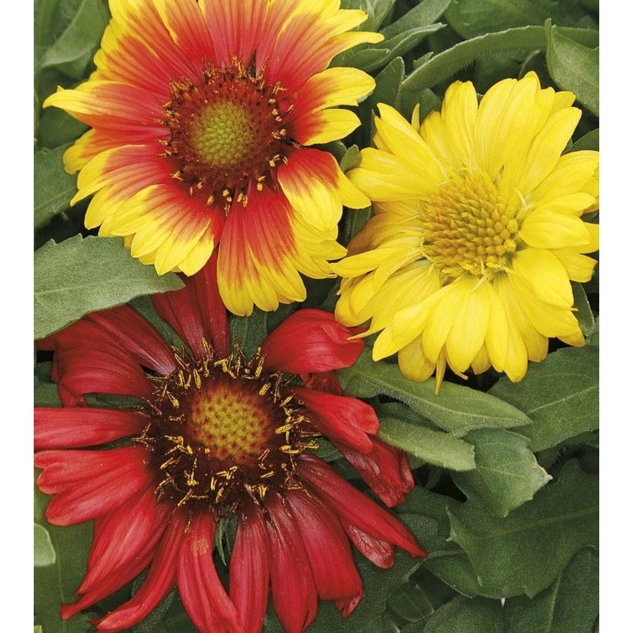 Monrovia 1-Gallon Blanket Flower (L10067)