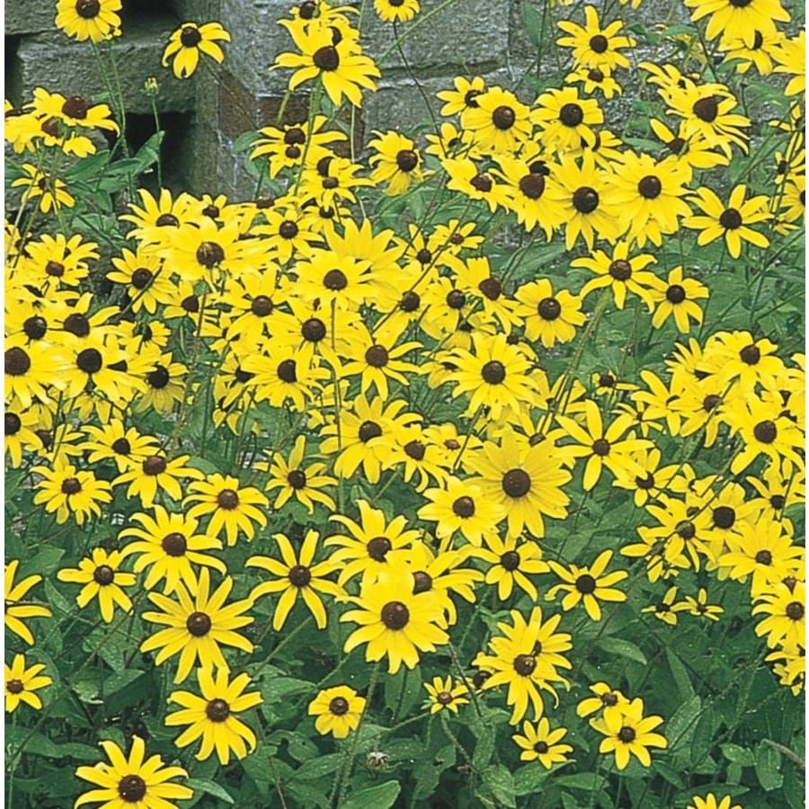 1-Gallon Black Eyed Susan (L5336)