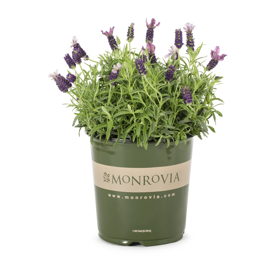 Monrovia 1-Gallon English Lavender (L6071)
