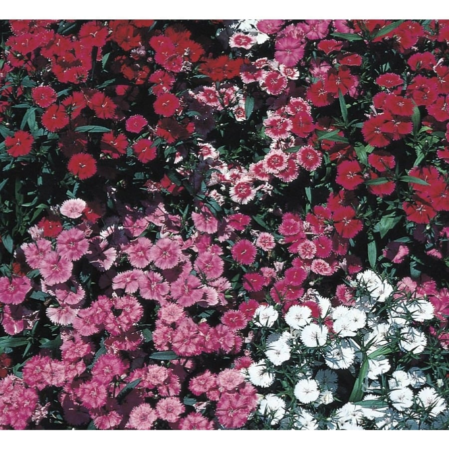 2.25-Gallon Dianthus (L9857)