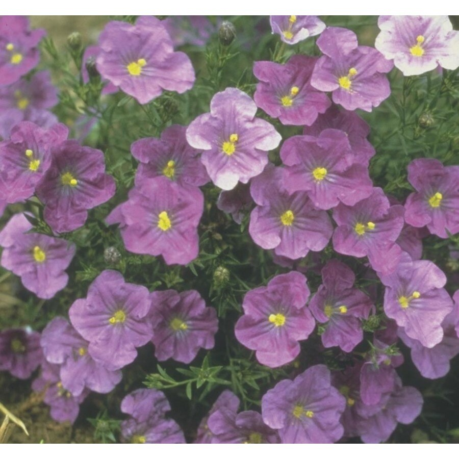 1-Gallon Dwarf Cup Flower (Lw03821)