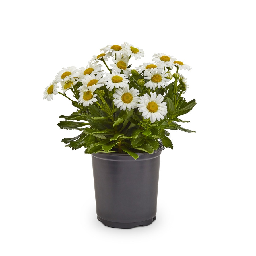 1-Gallon Butter Daisy (L9167)