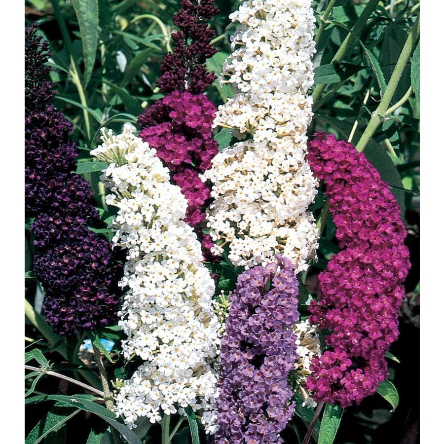 Shop 1 Gallon Multicolor Butterfly Bush Flowering Shrub L8073 At
