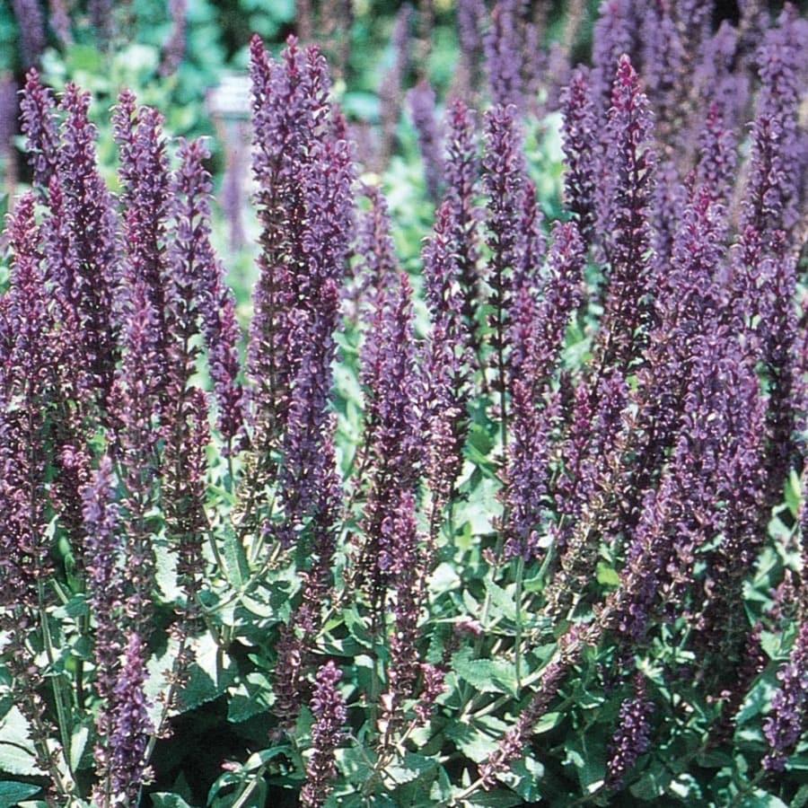 1-Gallon Salvia (L4091)