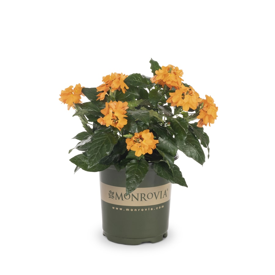 Monrovia 1-Gallon Crossandra