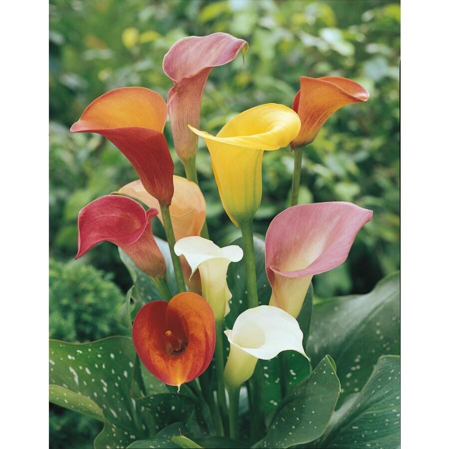 2.25-Gallon Calla Lily (LW00678)
