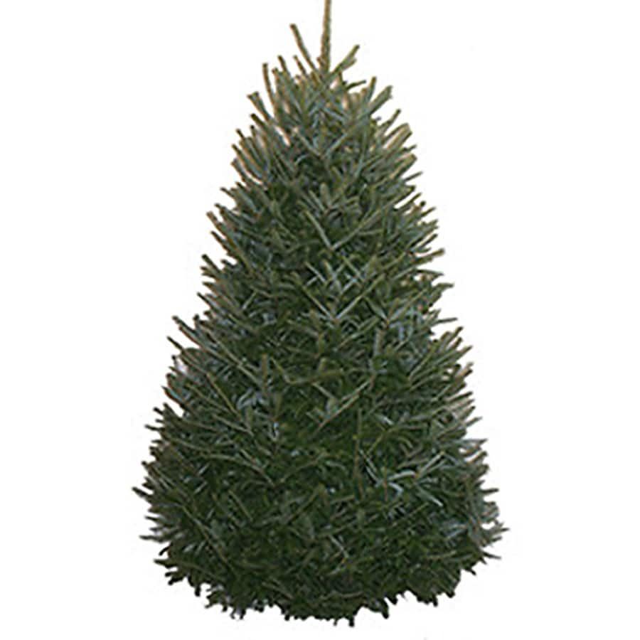 Real Christmas Trees Lowes: 7-8 Ft Fraser Fir Real Christmas Tree At Lowes.com