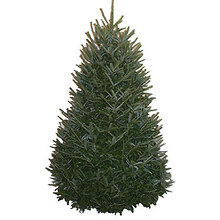 7-8-ft Fresh Fraser Fir Christmas Tree