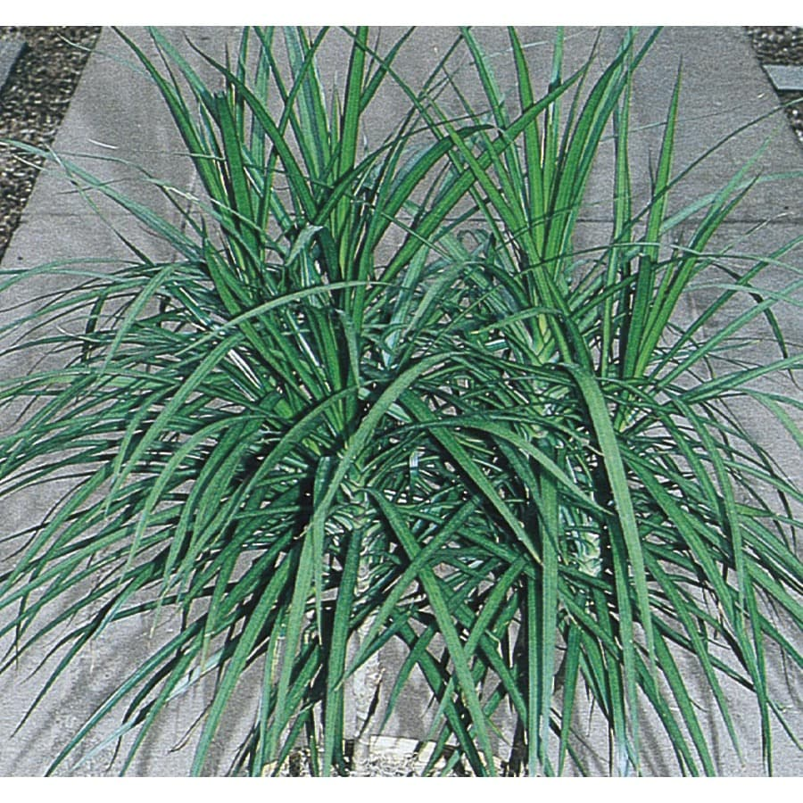 1.50-Gallon Spike Dracaena (L17139)
