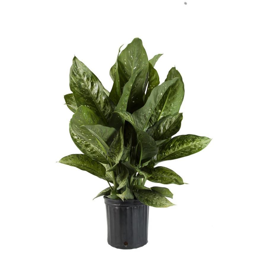 Dieffenbachia (L2936HP)
