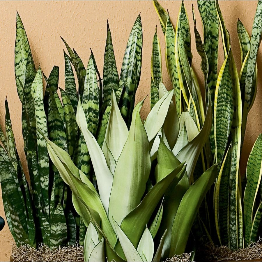 3.25-Gallon Sansevieria (L20970HP)