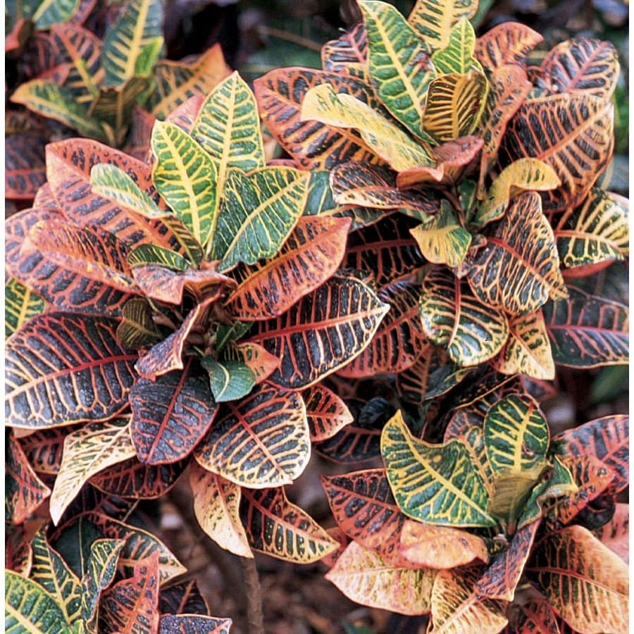 2.33-Gallon Croton (L5448)