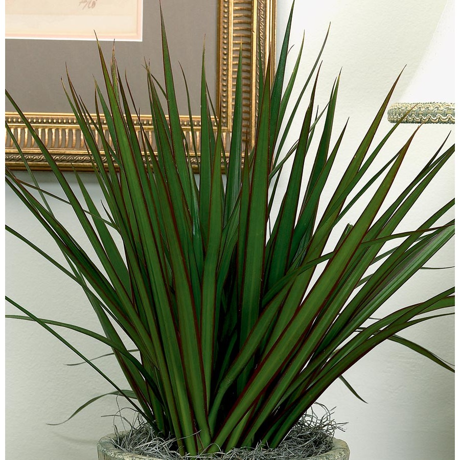 Shop dracaena marginata l2958hp at for Dracaena marginata
