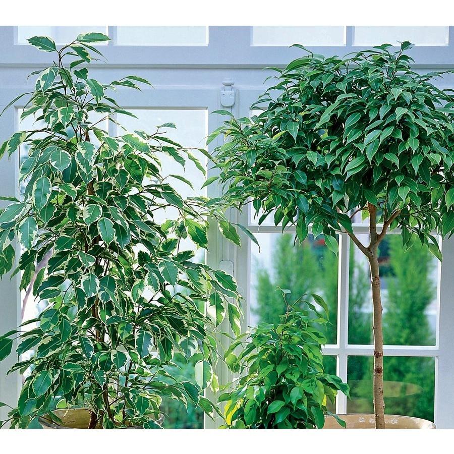 2.33-Gallon Ficus (L20939HP)