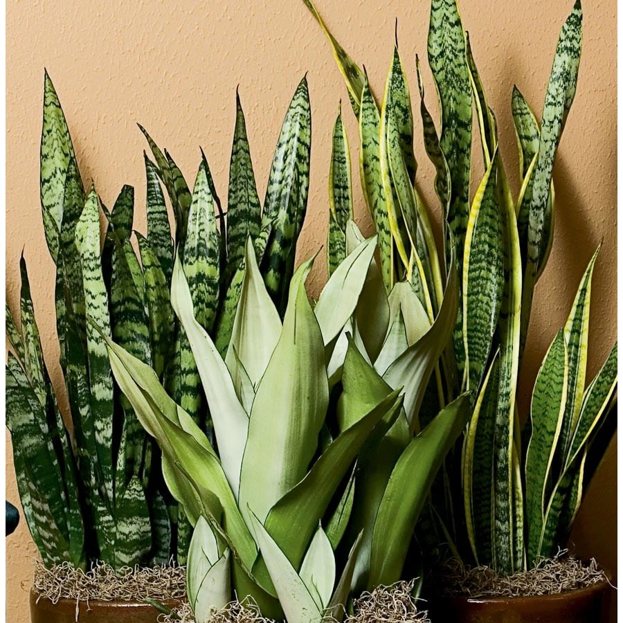2.33-Gallon Sansevieria (L20970HP)