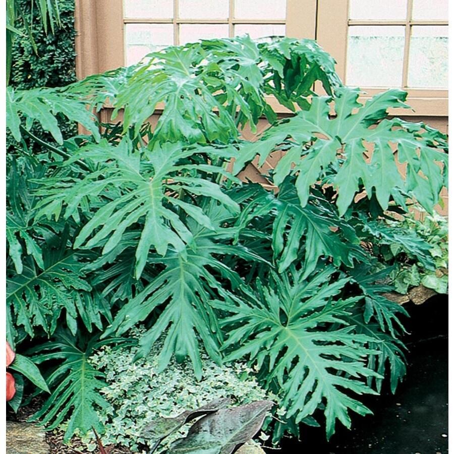 2.33-Gallon Philodendron (L3284HP)