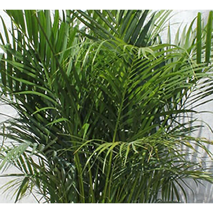 2.33-Gallon Palm Assorted