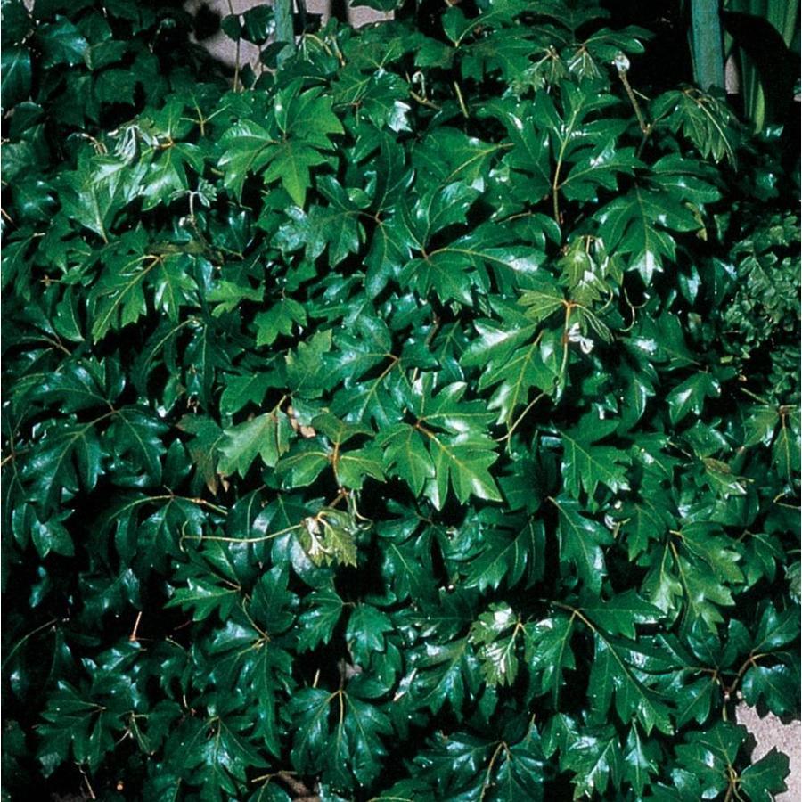 1.21-Pint Grape Ivy (L04155HP)
