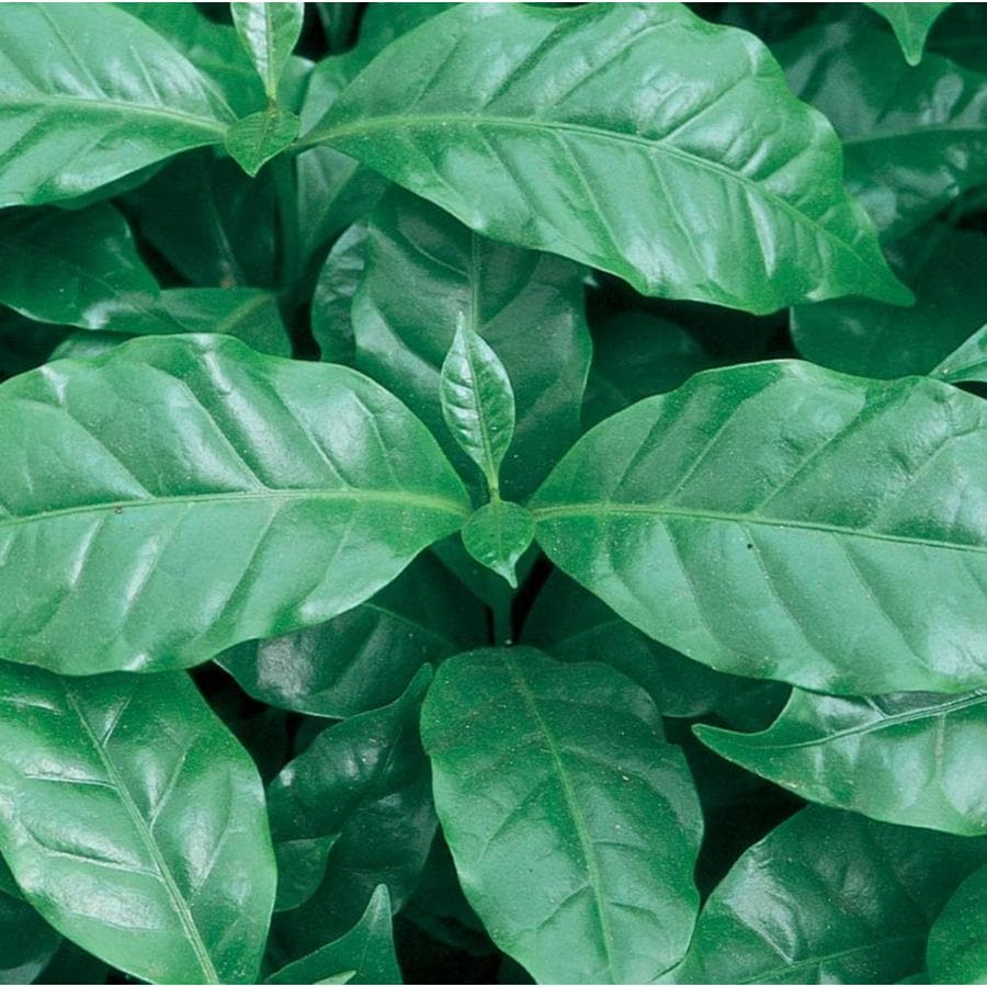 1.21-Pint Coffee Plant (LW00479HP)