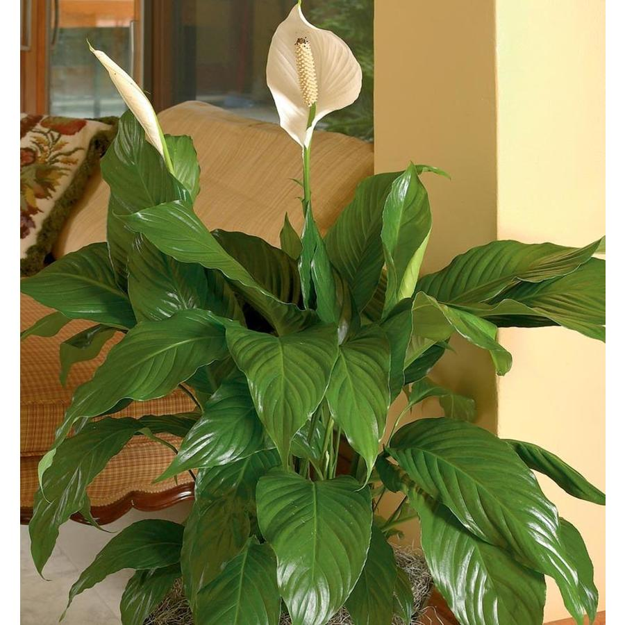 1.21-Pint Peace Lily (L20977HP)