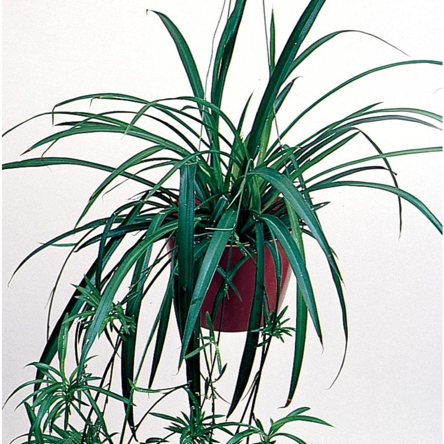 1.21-Pint Spider Plant (L03929)