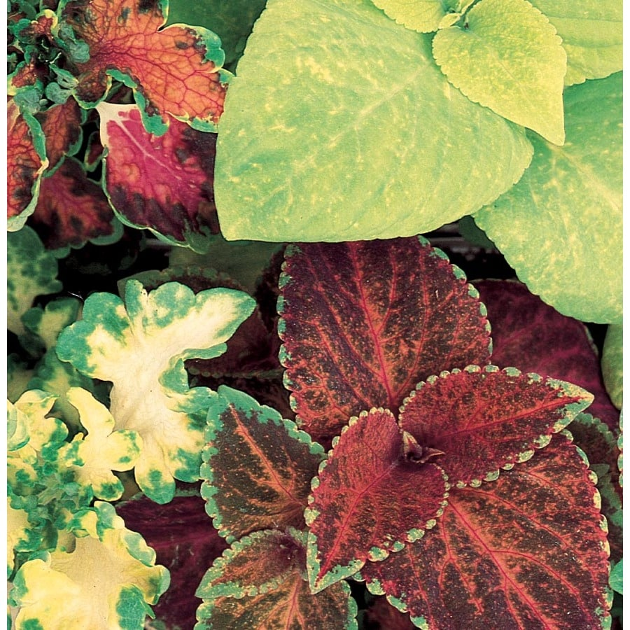 2-Quart Temporary Coleus (L2567)