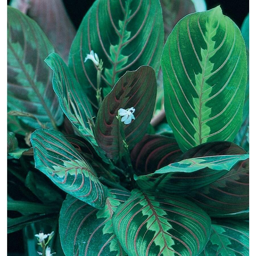 Prayer Plant (L949HP)