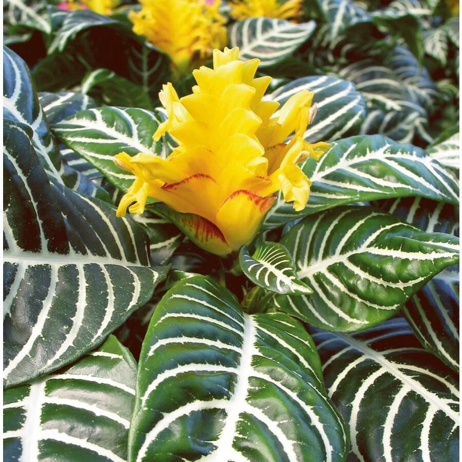 2-Quart Zebra Plant (L02418HP)