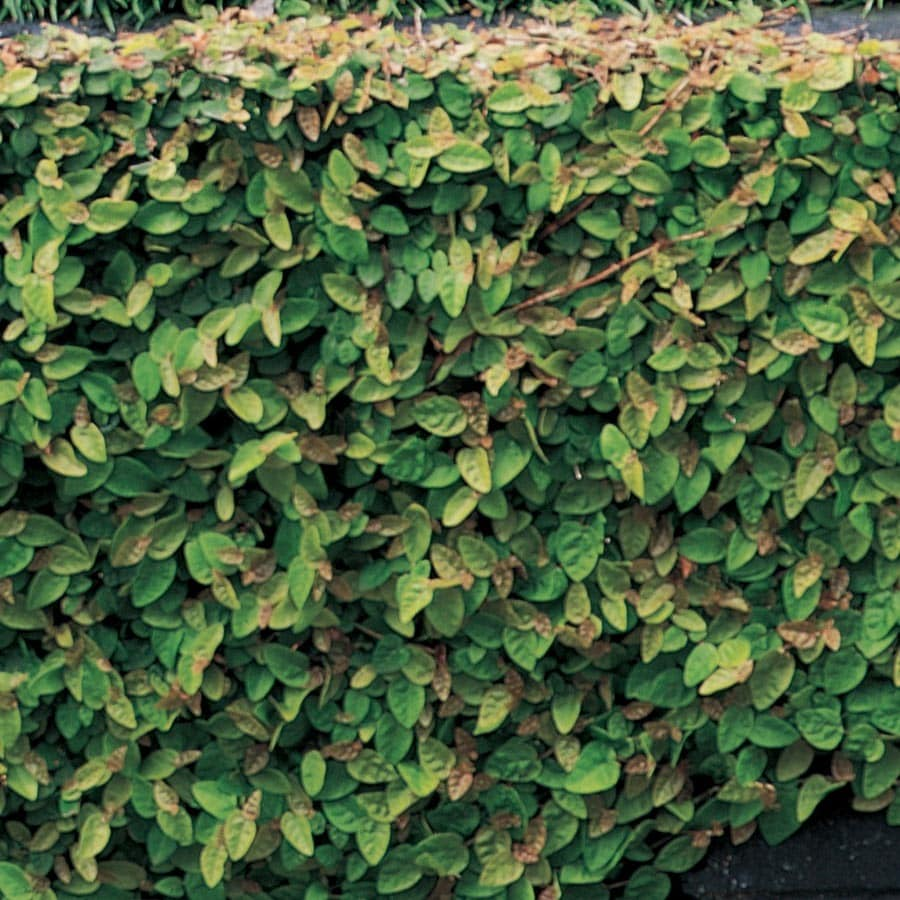 1.78-Quart Creeping Fig (L9249)