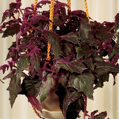 1-Quart Yellow Purple Pion Vine in Plastic Pot (L03877hp ... on house plants with light green leaves, house plants with shiny leaves, house plants and their names, house with red flowers, wandering jew with fuzzy leaves, house plants with waxy red blooms, olive tree green leaves, florida plants with red leaves, tomato plants with purple leaves, house plants with small leaves, perennial plants with purple leaves, house plants with long green leaves, house plants with colorful leaves, poisonous plants with purple leaves, house plant rubber plant, house plants with bronze leaves, house plants with dark red leaves, house plant purple heart, purple house plant fuzzy leaves, purple foliage plants with leaves,