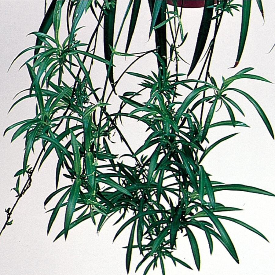 1.78-Quart Spider Plant (L03929)