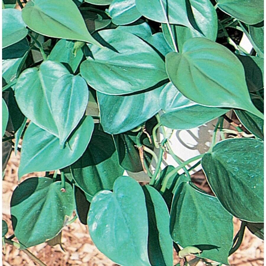 2.94-Quart Heartleaf Philodendron (L03864)