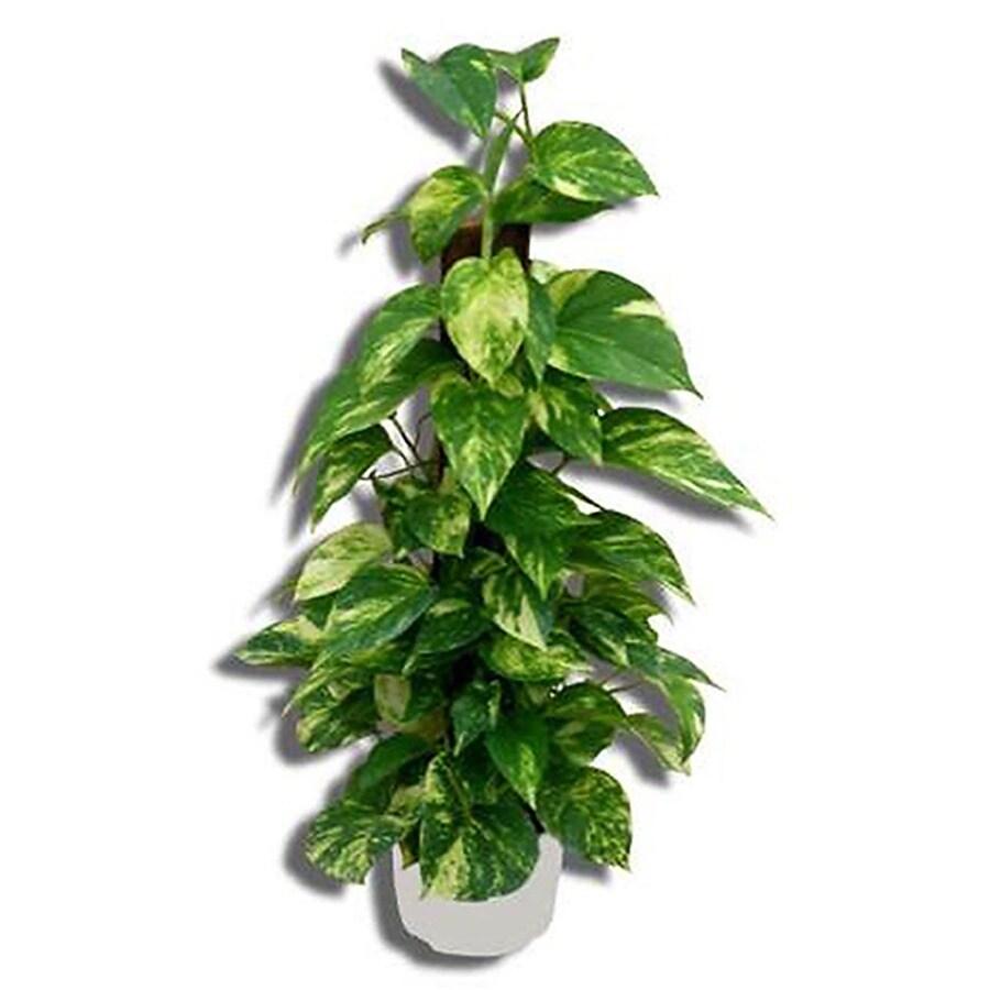 3.83-Quart Split-Leaf Philodendron