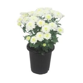 1-Pint White White Mum in Pot