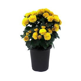1-Pint Yellow Yellow Mum in Pot