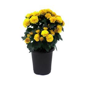 1-Pint Yellow Yellow Mum in Pot