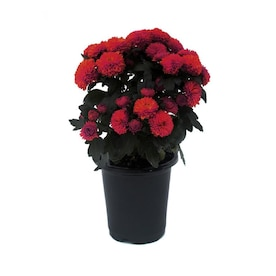1-Pint Red Red Mum in Pot