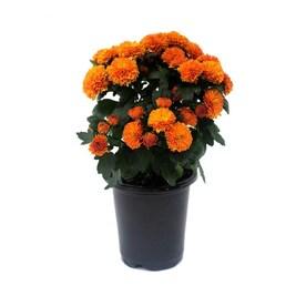 1-Pint Orange Orange Mum in Planter
