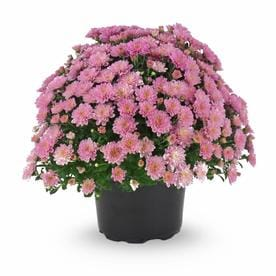 Shop annuals at lowes 3 quart pot pink garden mum mightylinksfo