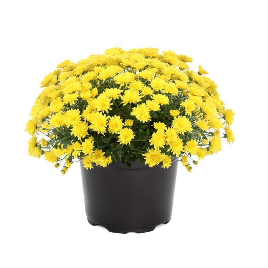 3 Quart Yellow Yellow Garden Mum In Pot At Lowes Com