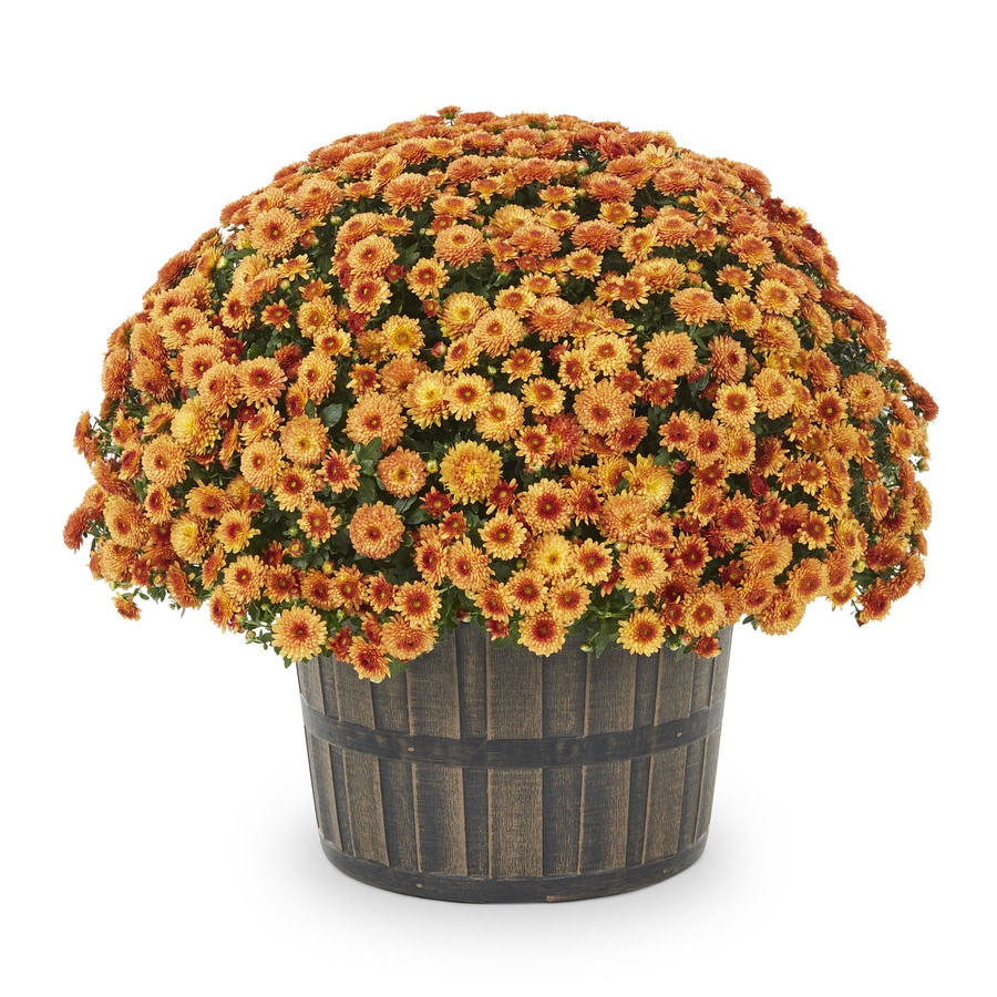how to grow mums in pots