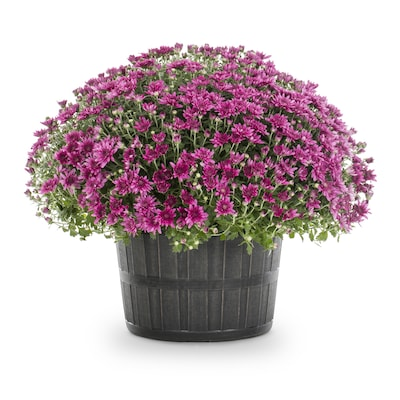 3 Gallon Purple Mum In Pot At Lowes