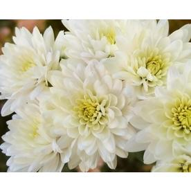 Shop annuals at lowes 3 gallon pot white mum mightylinksfo
