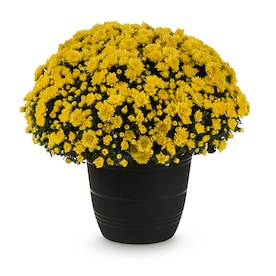1.75-Gallon Yellow Mum in Planter