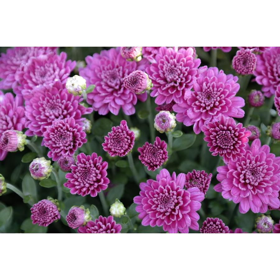 225 & 2.5-Gallon Purple Chrysanthemum in Pot at Lowes.com