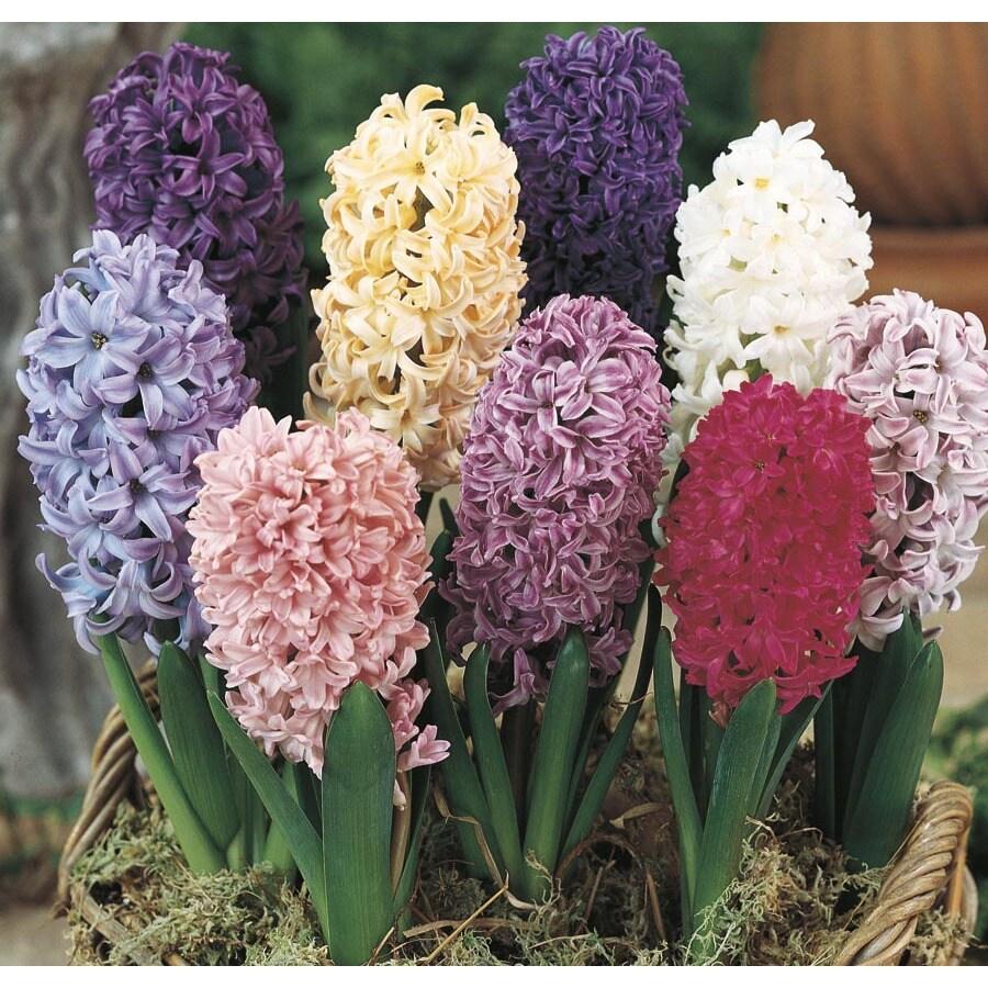 Hyacinth (L2439HP)