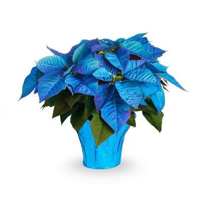 2 Quart Blue Poinsettia In Pot At Lowes Com