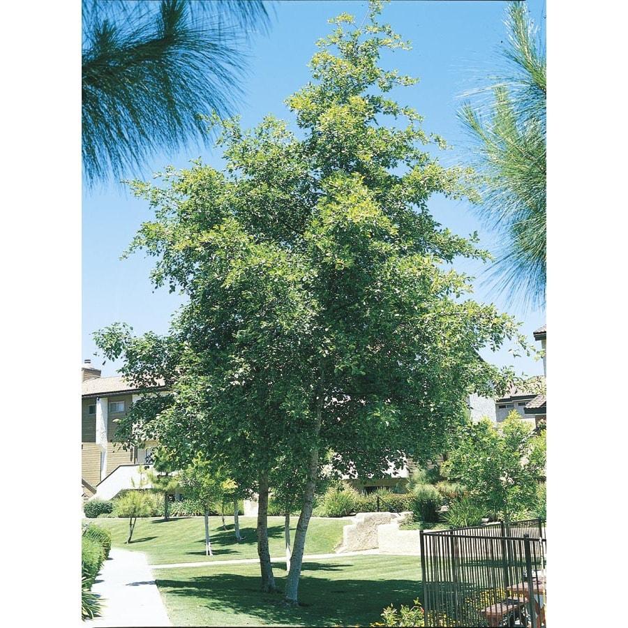 3.25-Gallon White Alder Shade Tree (L14604)