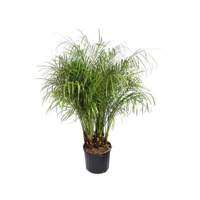 2 25 Gallon Pygmy Date Palm Feature