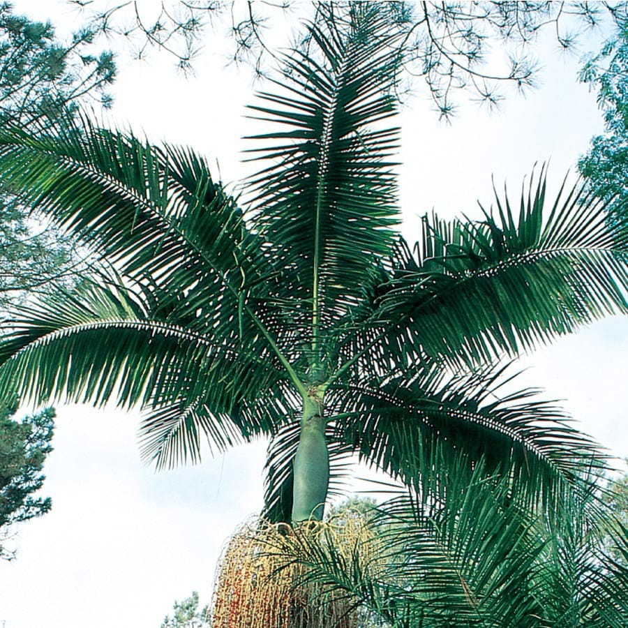3.58-Gallon King Palm Feature Tree (L6257)